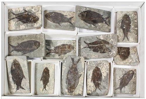Fossil Fish, Gregory, Bottley & Lloyd sale